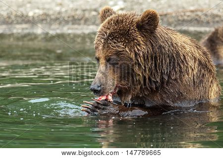Brown bear eating a salmon caught in the Kurile Lake. Southern Kamchatka Wildlife Refuge in Russia.