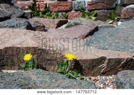 Dandelion Has Grown Through Stones