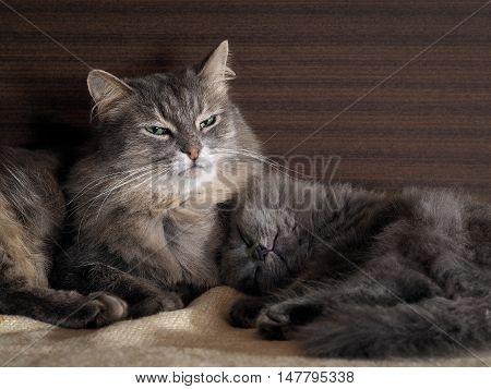 Big cat guarding the dream of a small kitten. Kitten fast asleep