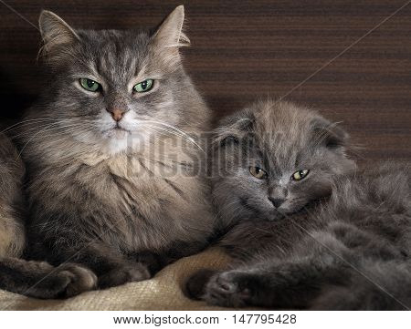 Big cat and little kitten lying together. Gray fluffy cat. Very similar but different breeds