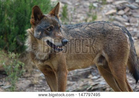 Whole wet Canis Lupus Signatus in the wild looking at the horizon, side view
