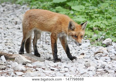 Curious young red fox looking warily, standing on stones