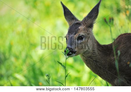A Young Roe Deer