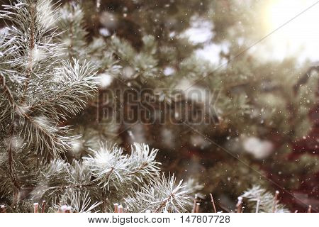 background with snow-covered fir tree branches with falling snow
