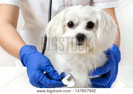 Dog is examinated by vet in veterinary clinic