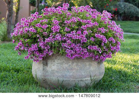 Violet Petunia: Beautiful Flowering Plant inside White Flowerpot