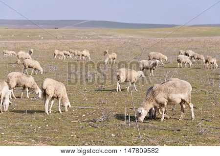 Herd of sheep grazing in dry pastures in Ciudad Real Province, Sapin