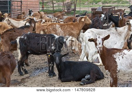 Herd of goats confined in a sheep pen in Ciudad Real, Spain