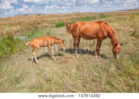 mare mother and child foal grazing on the meadow