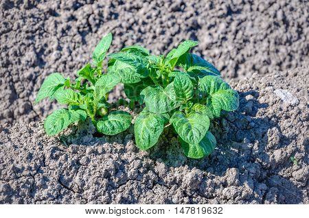 Closeup of fresh green young potato plants growing in dry and cracked clay soil in the Nethertlands on a sunny day in the beginning of the summer season.