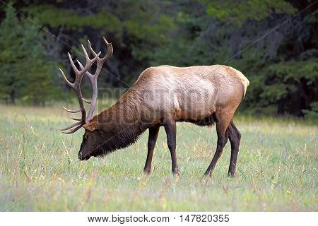 Wapiti Elk large bull grassing Rocky Mountains Canada