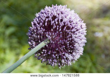 Delicate purple with flower balls head of an onion alum in flower, Sheffield, UK