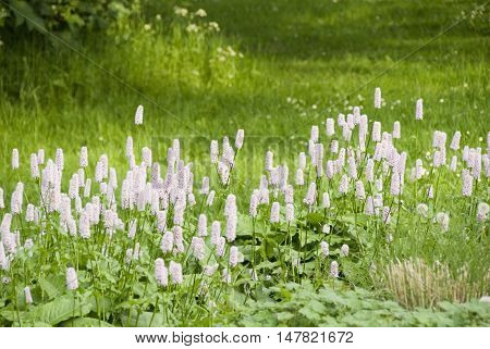 Bistort in flower in the grounds of Meersbrook Park, Sheffield, UK