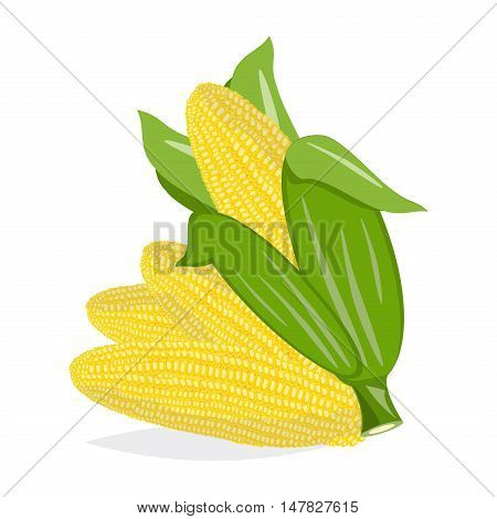 Corn cobs harvest fresh nature vector on white background. Vector set corn natural raw cob agriculture sweet corn. Farm vegetable grain corn maize nutrition leaf vegetarian ingredient.