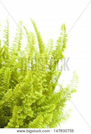 fern plant fronds  isolated on white background