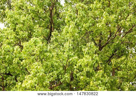 Bodhi or pho leaves and tree nature background