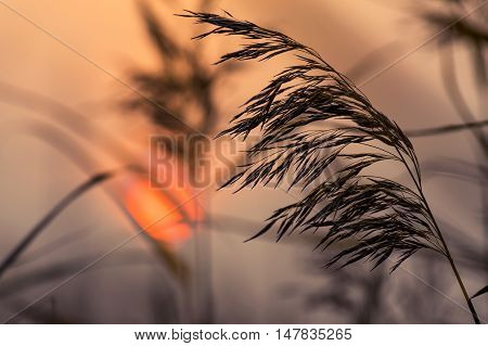 Reed in the quiet evening against the background of the sunset sky