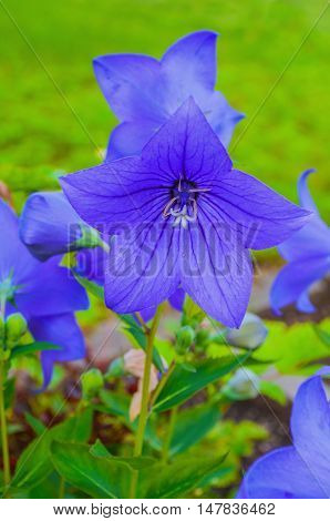 Bellflowers - Platycodon grandiflorus - at the flowerbed closeup view. It is commonly known as common balloon flower or balloon flower. Summer flower landscape. Focus at the central bellflower