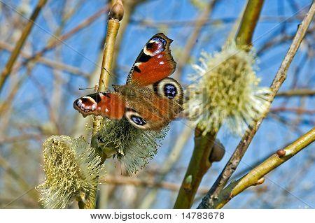Butterfly Peacock's Eye