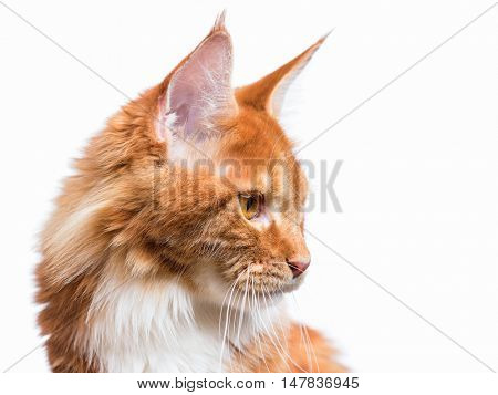 Funny Maine Coon cat looking somewhere. Close up of young adorable kitten 7,5 months old look and sit. Beautiful red-haired kitty isolated on white background.