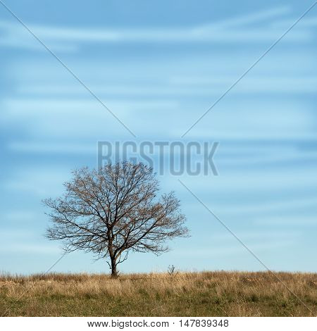 Single branchy tree without leaves in dry field under cloudy blue sky. Square autumn landscape