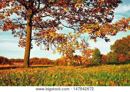 Autumn nature landscape-orange autumn deciduous oak in autumn sunny field. Autumn landscape with orange autumn oak trees. Colorful autumn view of autumn field. Autumn nature in soft evening light -landscape view