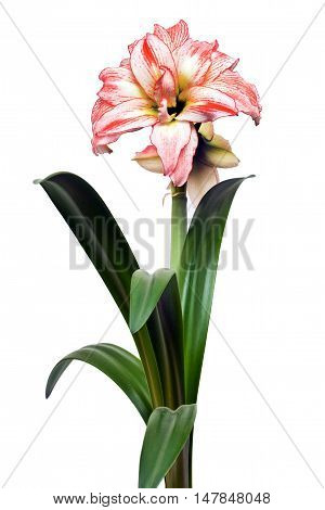Hippeastrum double flowering Double Record isolated on the white background