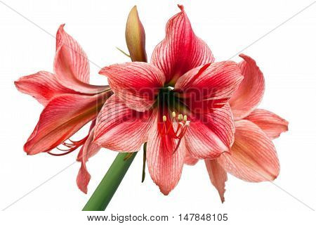 Hippeastrum Gervase isolated on the white background
