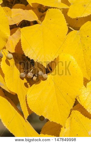 Autumnal leaves and fruits of lime tree Tilia linden basswood.