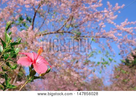 Shoe flower with Wild himalayan cherry (prunus cerasoides) blooming at Chiangmai Thailand.