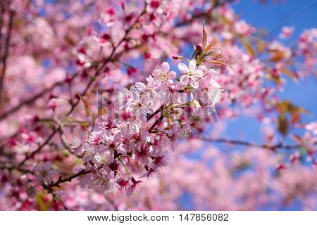 Wild himalayan cherry (prunus cerasoides) at Chiangmai Thailand.background mountian and sky