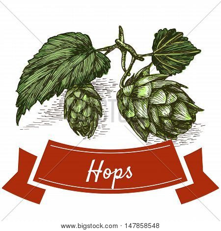 Hops illustration. Vector colorful illustration of hops.