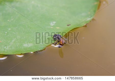 close up of Bee drinking water at summer time
