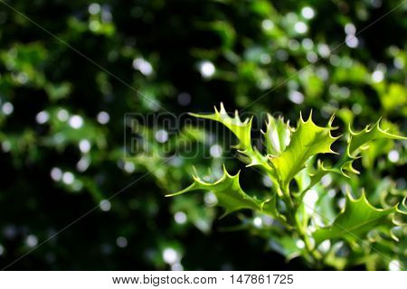 Green twig of holy bush (ilex aquifolium), can be used asi winter background