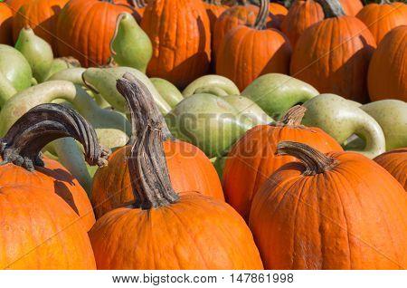 Pumpkins background: pile of orange and green pumpkins at a pumpkin patch