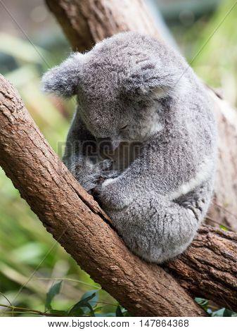 funny cute fluffy koala sleeping on a eucalyptus tree branch Australia