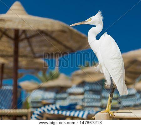 Little Egret - Egretta garzetta on the beach