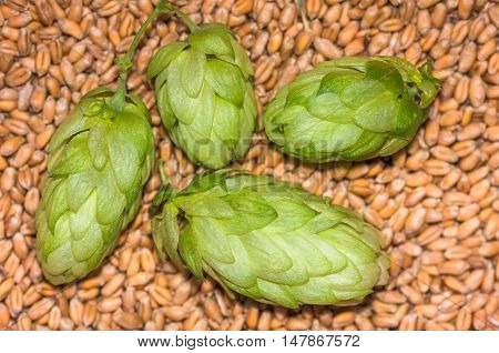 Green fresh hop cones lying on ripe barley cooked for brewing beer, background, close