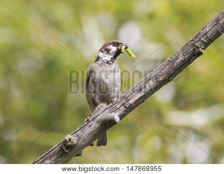 a bird a Sparrow caught a green caterpillar sitting on a tree