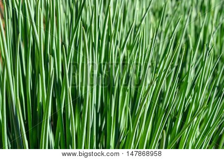 Abstract green natural background with bunches of young green onion plant growing on a bed in the vegetable garden