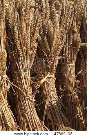 wheat ears sheaves tied to the harvest as a decoration for thanksgiving vertical background with copy space selected focus narrow depth of field