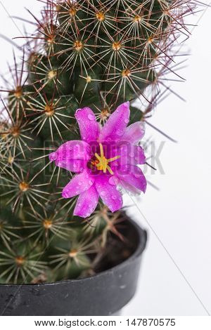 Cactus in flowerpot isolated on white background