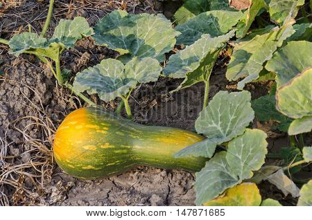 Violin pumpkin bed with crops in yellow and green  color at  vegetable garden,  Zavet town, Bulgaria