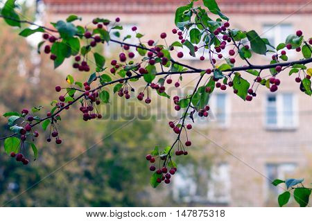 Red ripe apples on green branch: autmn in the city. Malus baccata var. sibirica.