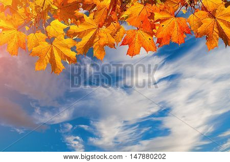 Autumn nature background with free space for text - colorful orange autumn maple leaves against dramatic sky. Autumn background with maple autumn leaves and sunny blue sky -autumn nature.