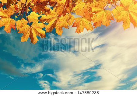 Autumn nature background with free space for text- colorful orange autumn maple leaves against sunset sky. Autumn background with maple autumn leaves and sunny blue sky -autumn nature background in vintage tones
