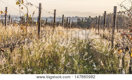 Vineyard in the autumn with wild grass glowing