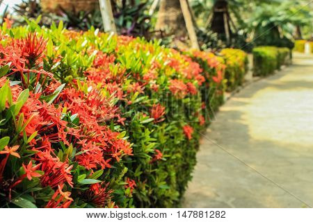 the line of Ixora to the garden