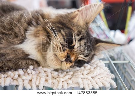 Closeup of sleeping beautiful Maine Coon kitten