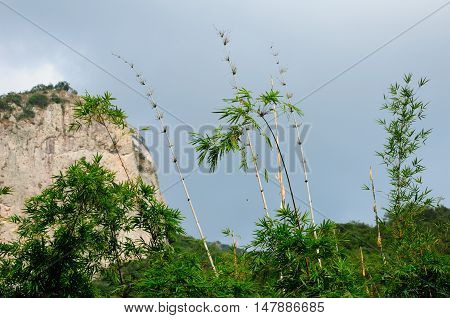 Bamboo growing within the Dalong Waterfall scenic area in Yandangshan mountain area located in Zhejiang province China.